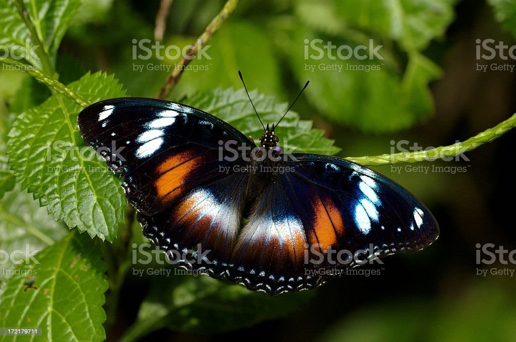 female Great Eggfly (Hypolimnas bolina) of Singapore stock photo
