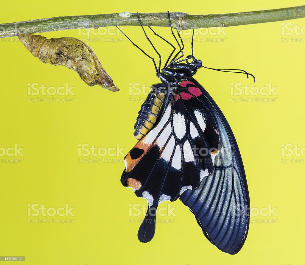 Female great mormon with pupa royalty-free stock photo