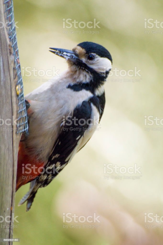 Female Greater Spotted Woodpecker on a Tree stock photo
