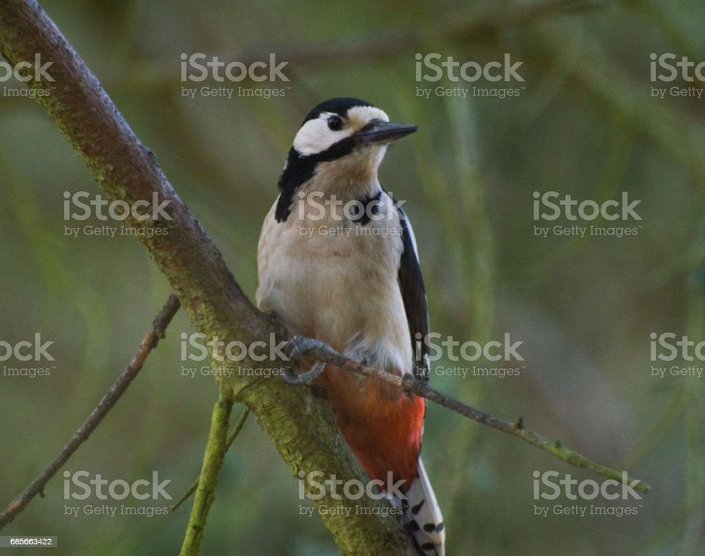 Female Greater Spotted Woodpecker stock photo