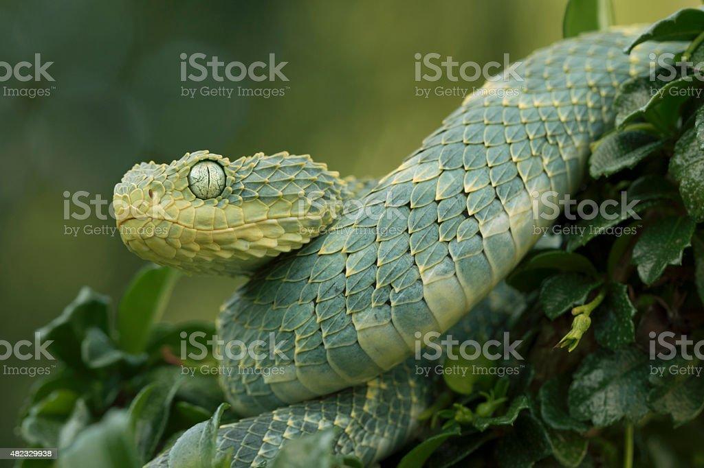 Female Green Bush Viper in Rainforest stock photo