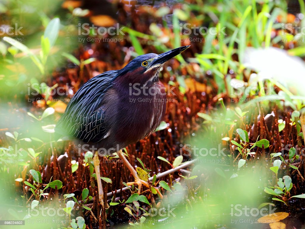 Female Green Heron in a mangrove forest stock photo