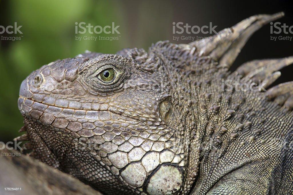 Female Green Iguana royalty-free stock photo
