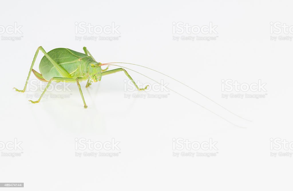 Female green katydid stock photo