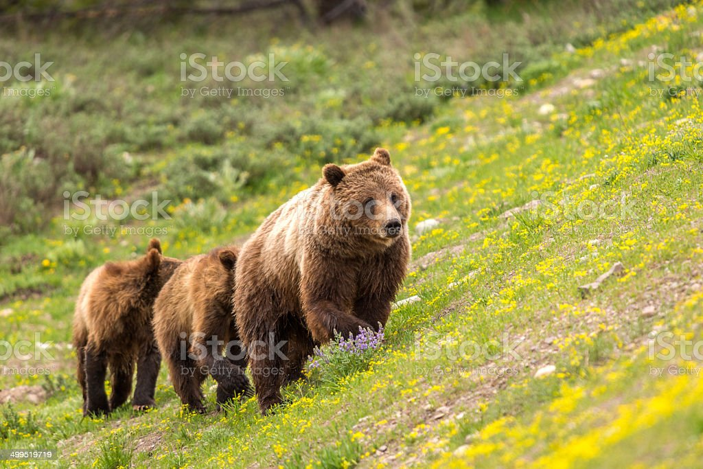 Female Grizzly Bear and Two One Year Old Cubs stock photo