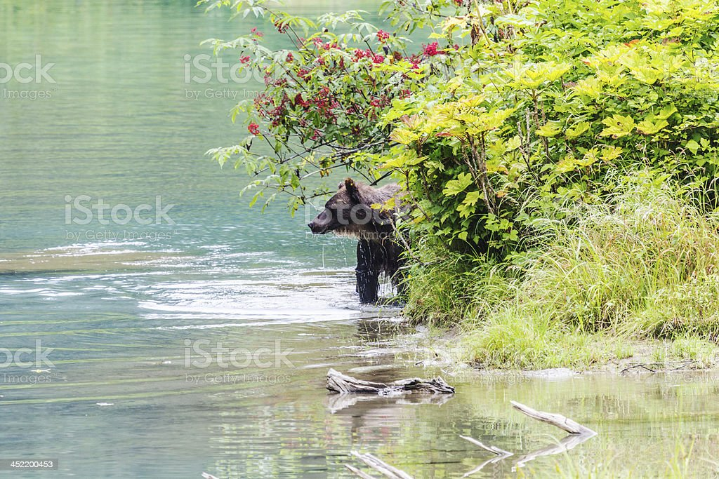 Female Grizzly walking in lagoon stock photo