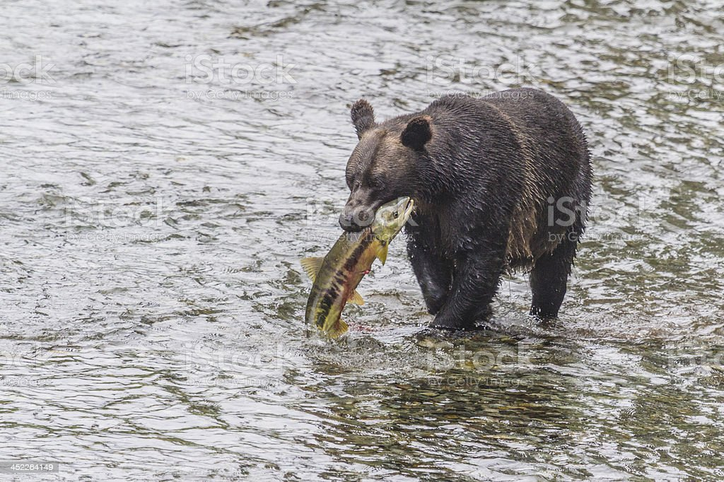 Female Grizzly with large Chum Salmon royalty-free stock photo