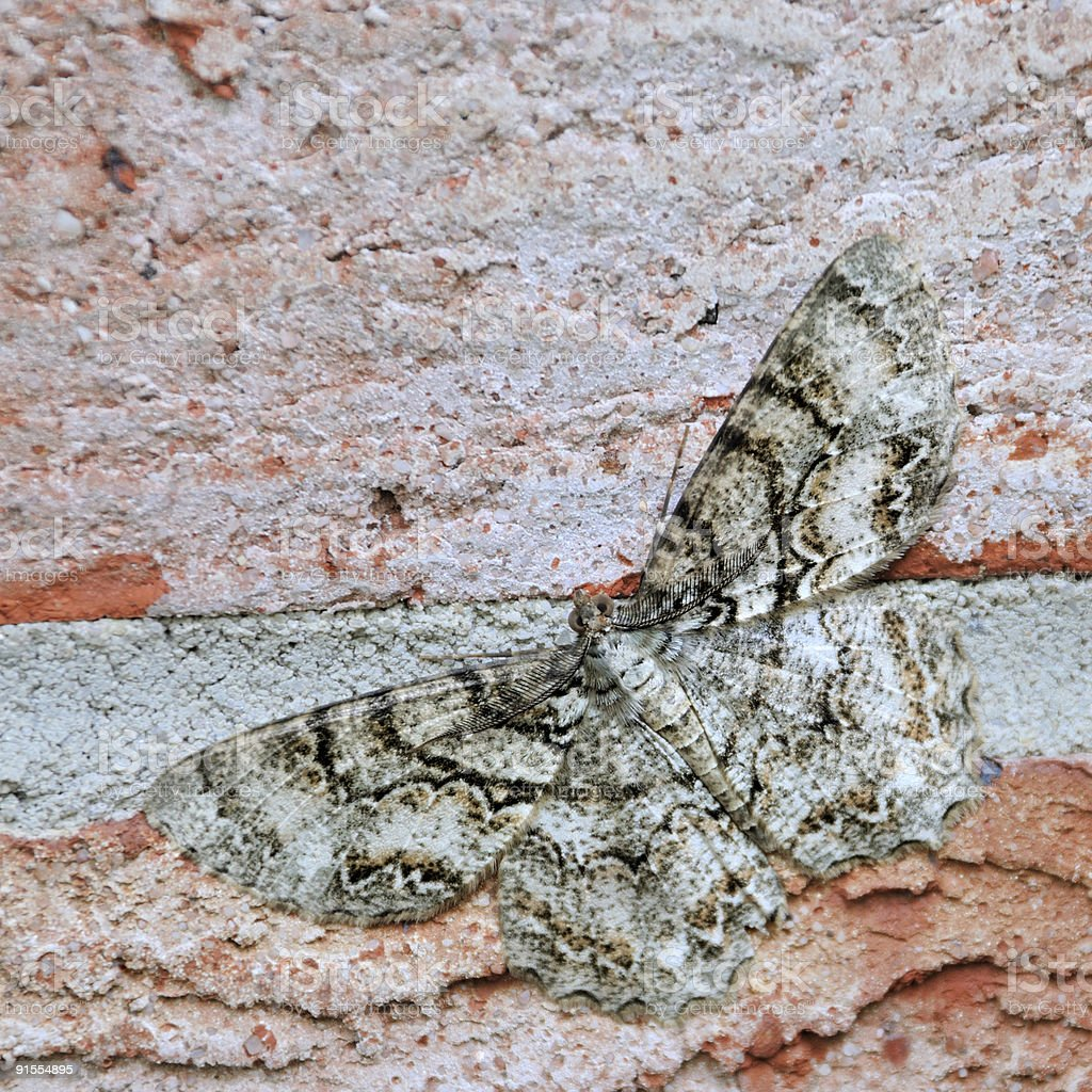 Female Gypsy Moth stock photo