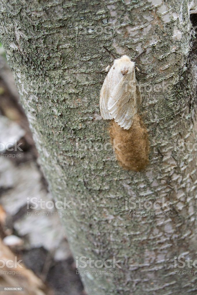 Female Gypsy Moth with Egg Mass stock photo