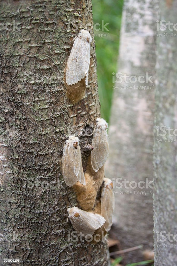Female Gypsy Moths with Egg Masses stock photo