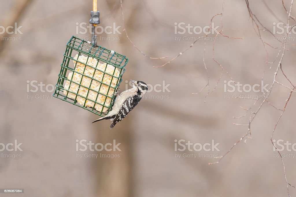 Female Hairy Woodpecker feeding stock photo