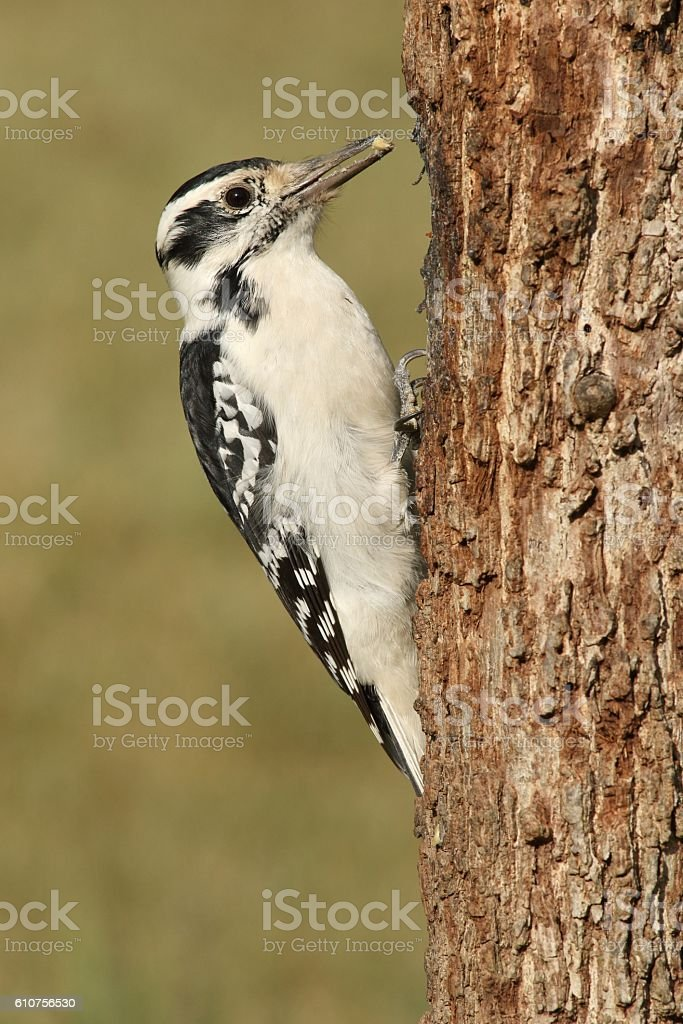 Female Hairy Woodpecker (Picoides villosus) stock photo