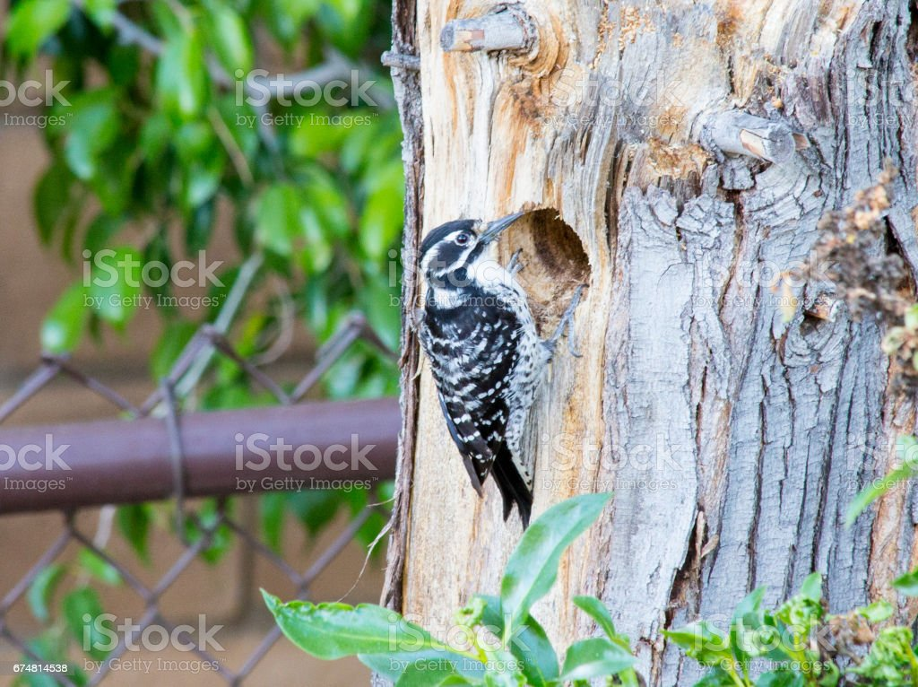 Female Hairy Woodpecker stock photo