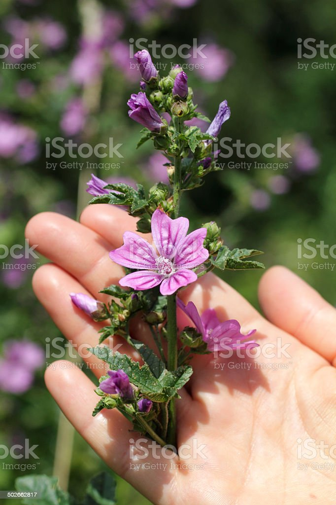 Purple wildflower common mallow female hand stock photo