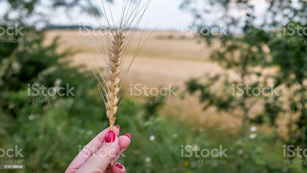 Female hand holding golden wheatear, selective focus stock photo