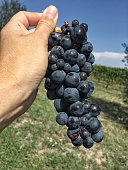 female hand holding grape