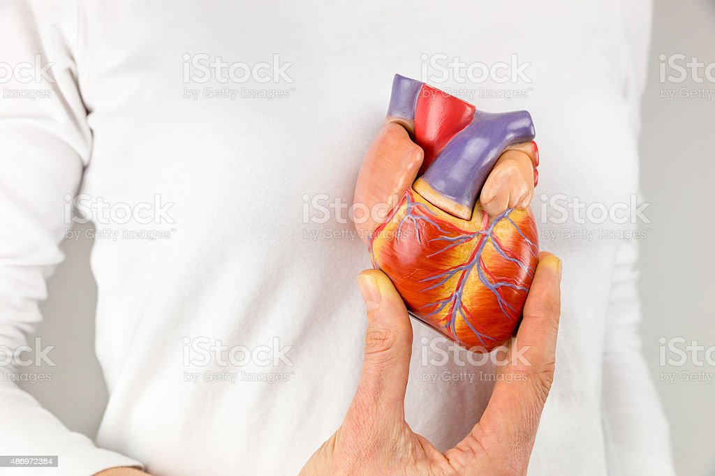 Female hand holding heart model in front of chest stock photo
