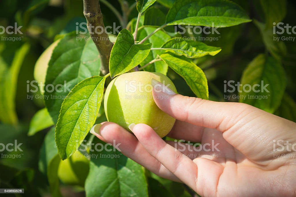 Female hand holding unripe apple stock photo