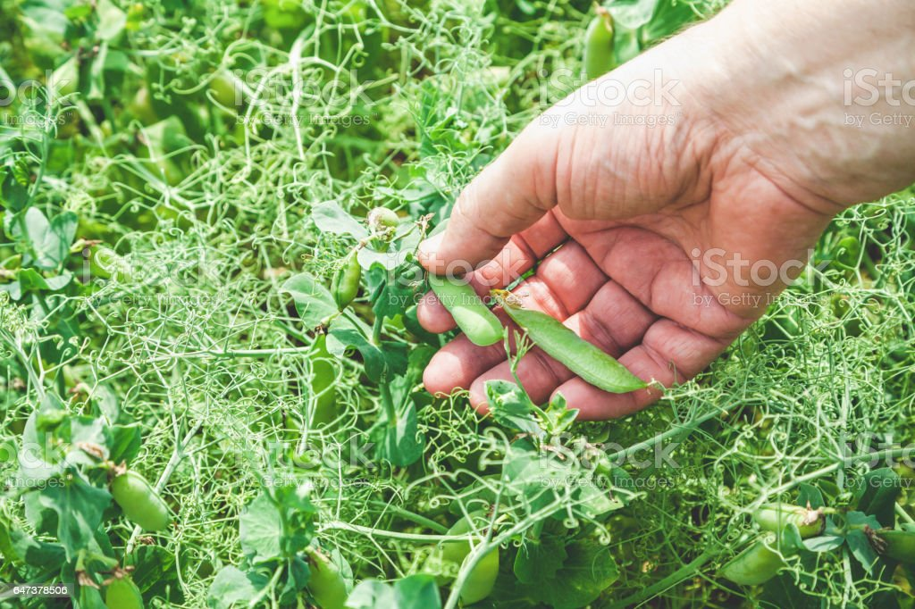 Female hand picks pods of green peas stock photo