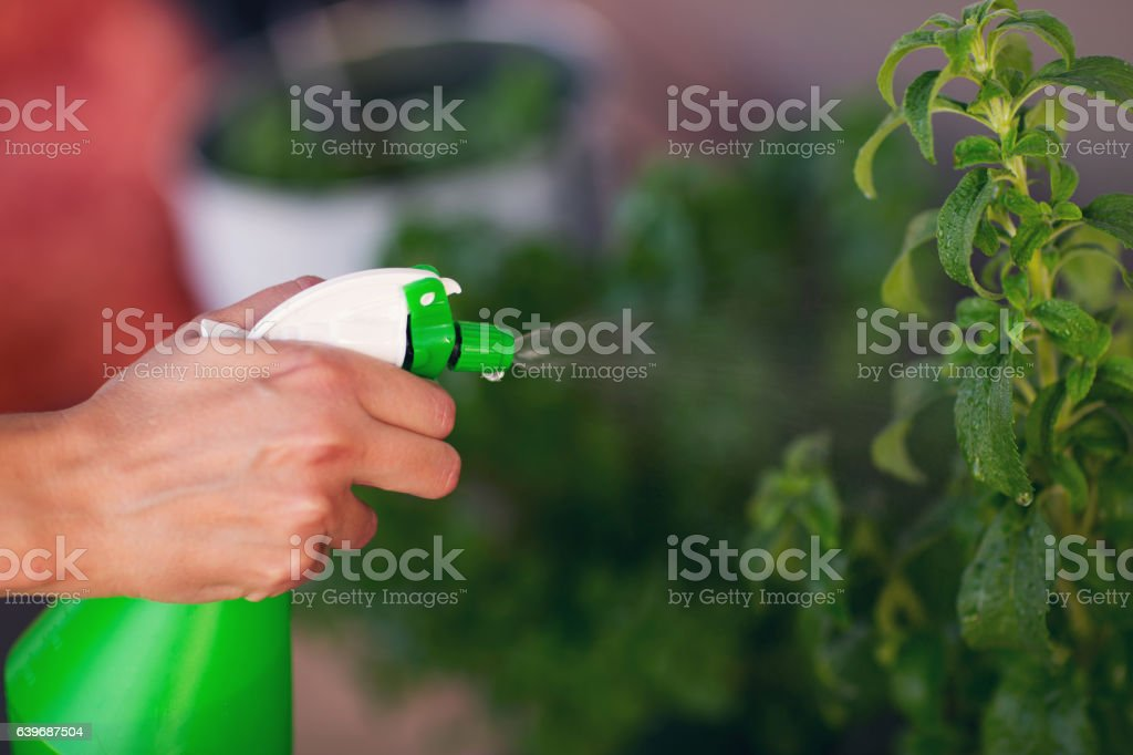 Female hand spraying water on indoor house plant stock photo