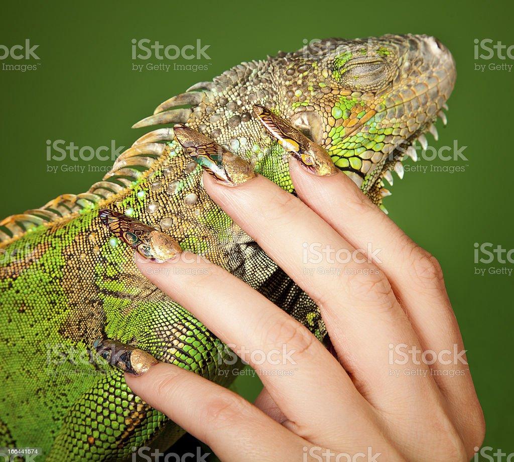 Female hand with beautiful manicure touching  a iguana stock photo