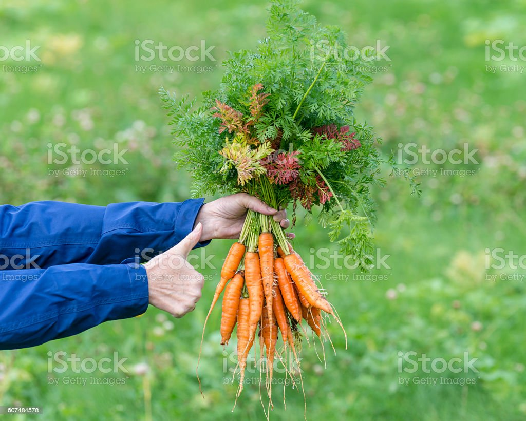 Female hand with bunches of carrots, autumn stock photo