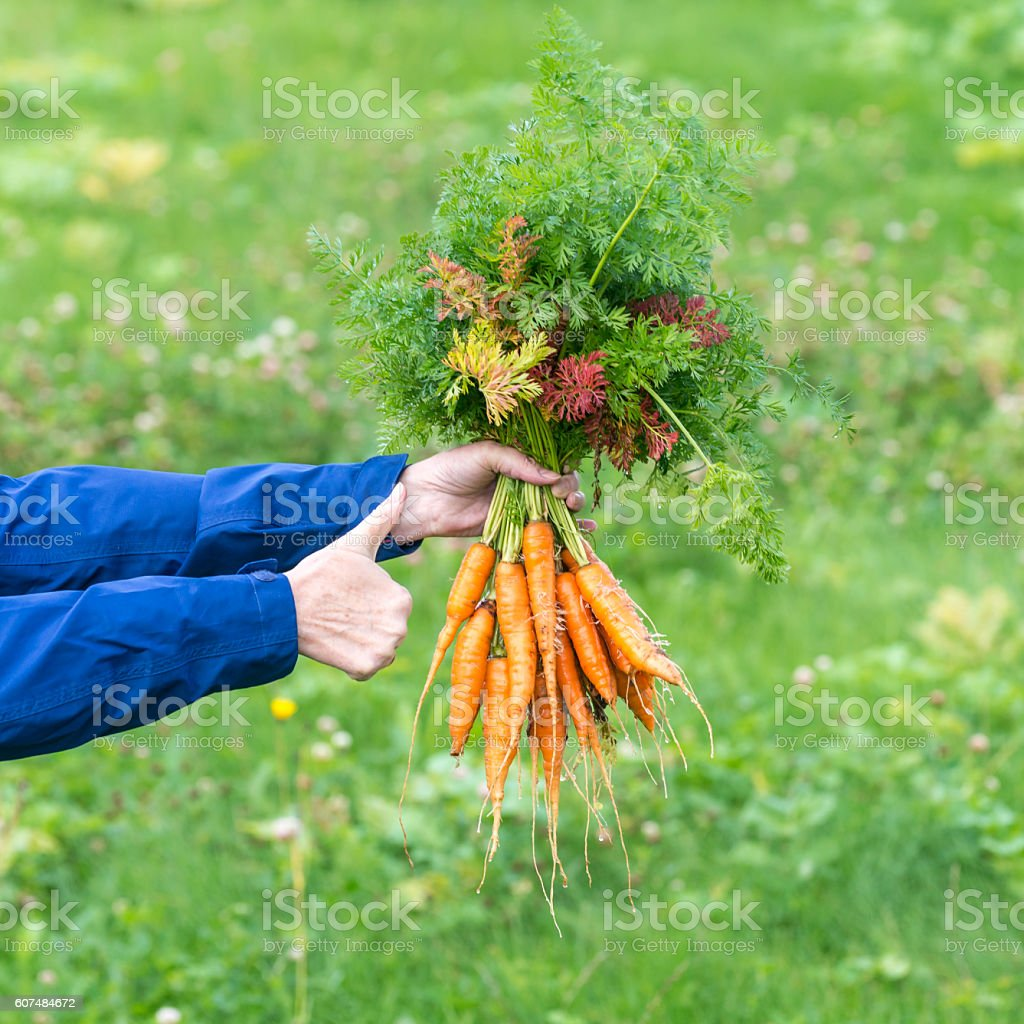 Female hand with bunches of supper carrots stock photo