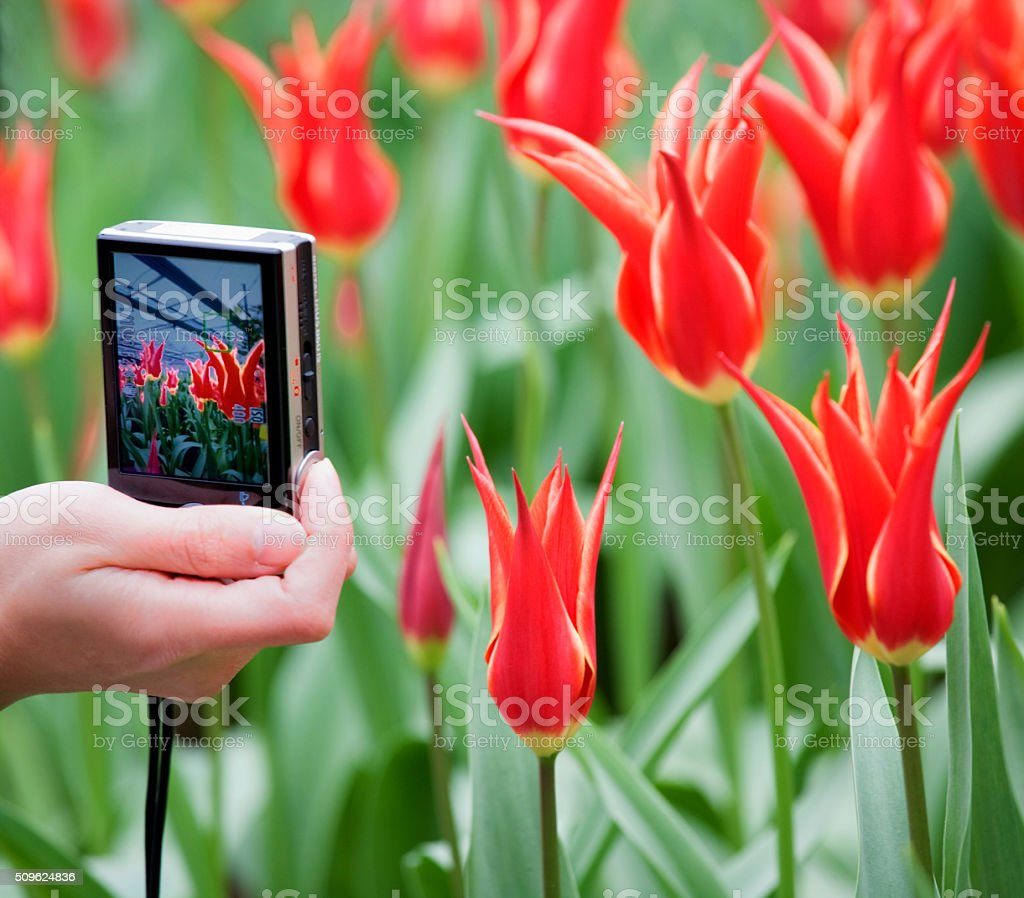 Female hand with pocket camera shooting photographs of red tulips stock photo