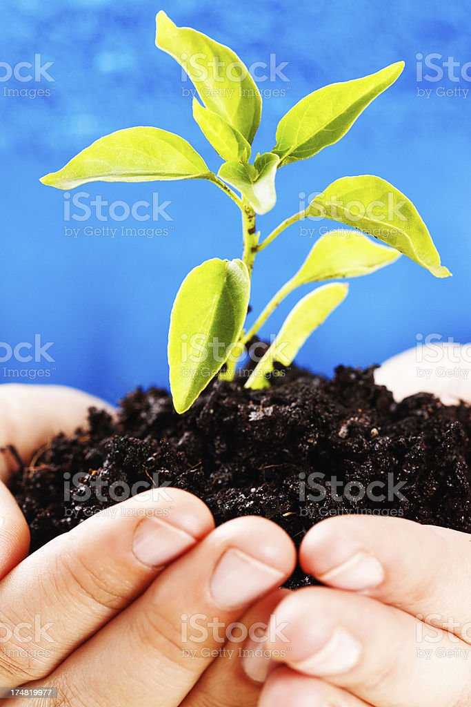 Female hands gently cradle tiny seedling royalty-free stock photo