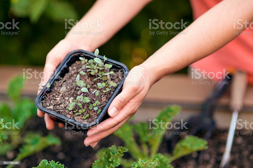 Female hands holding a garden starter stock photo