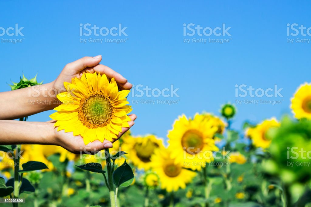 Female hands holding a sunflower head. Woman hold delicate a sunflower in her hands stock photo