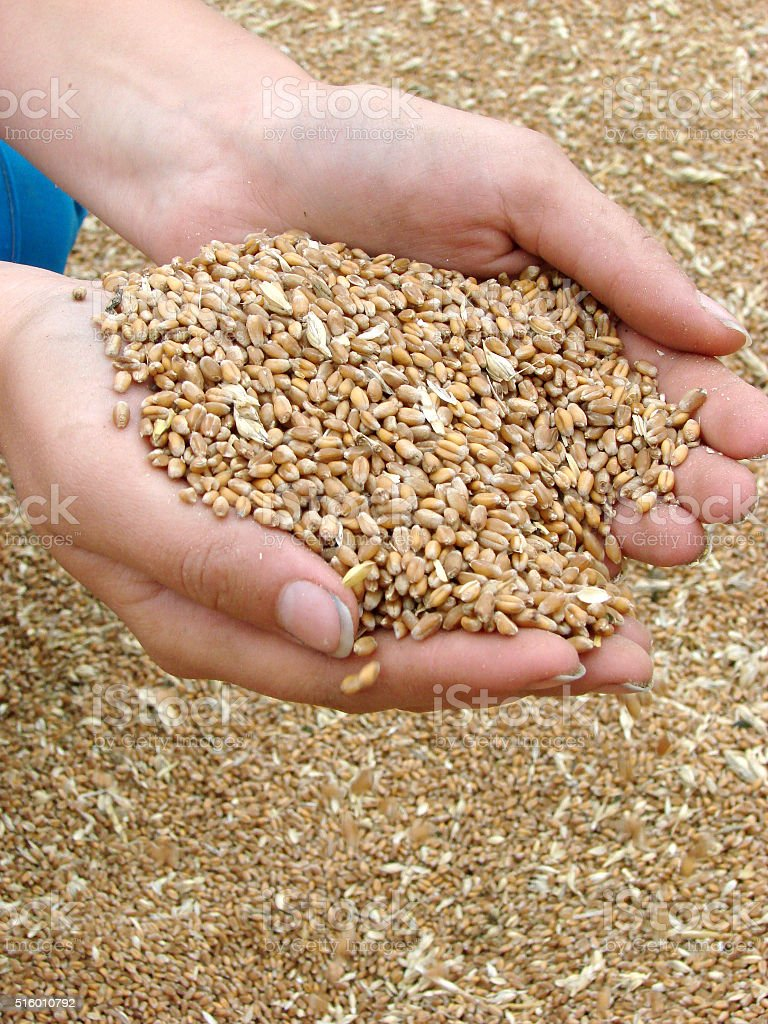 Female hands holding handful of dry yellow wheat at wheat crop stock photo