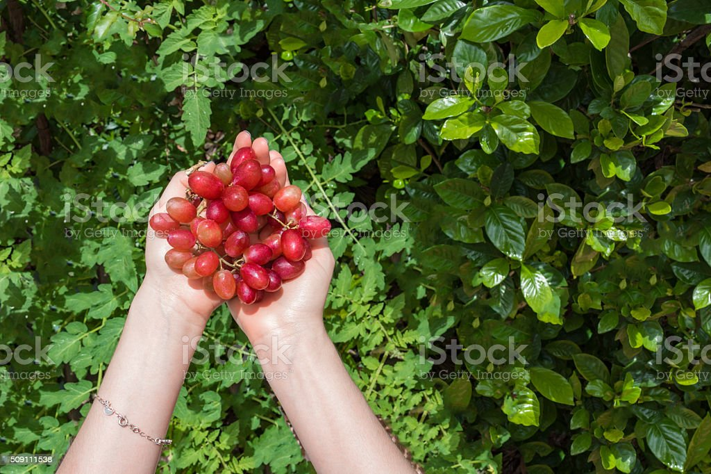 Female hands holding purple grape stock photo