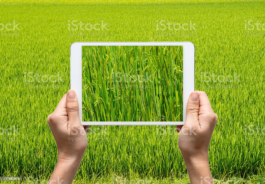 Female hands holding tablet taking pictures paddy rice field stock photo