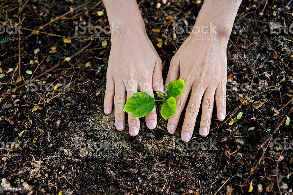 Female hands planting a new tree stock photo
