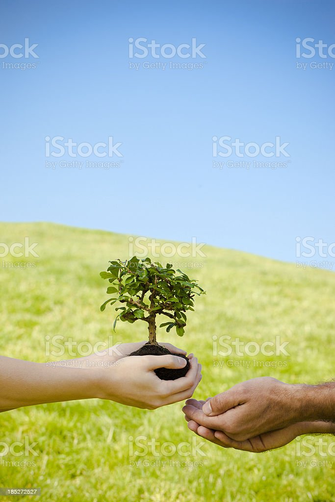 female hands with bonsai tree royalty-free stock photo