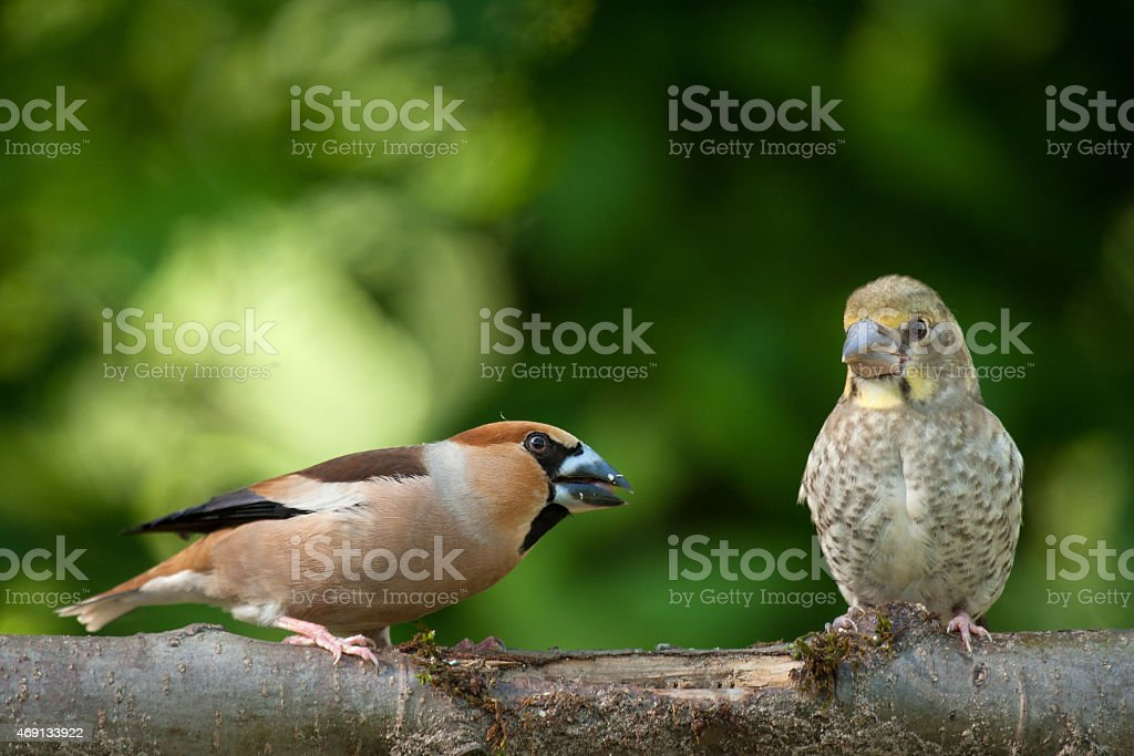 Female hawfinch from young stock photo