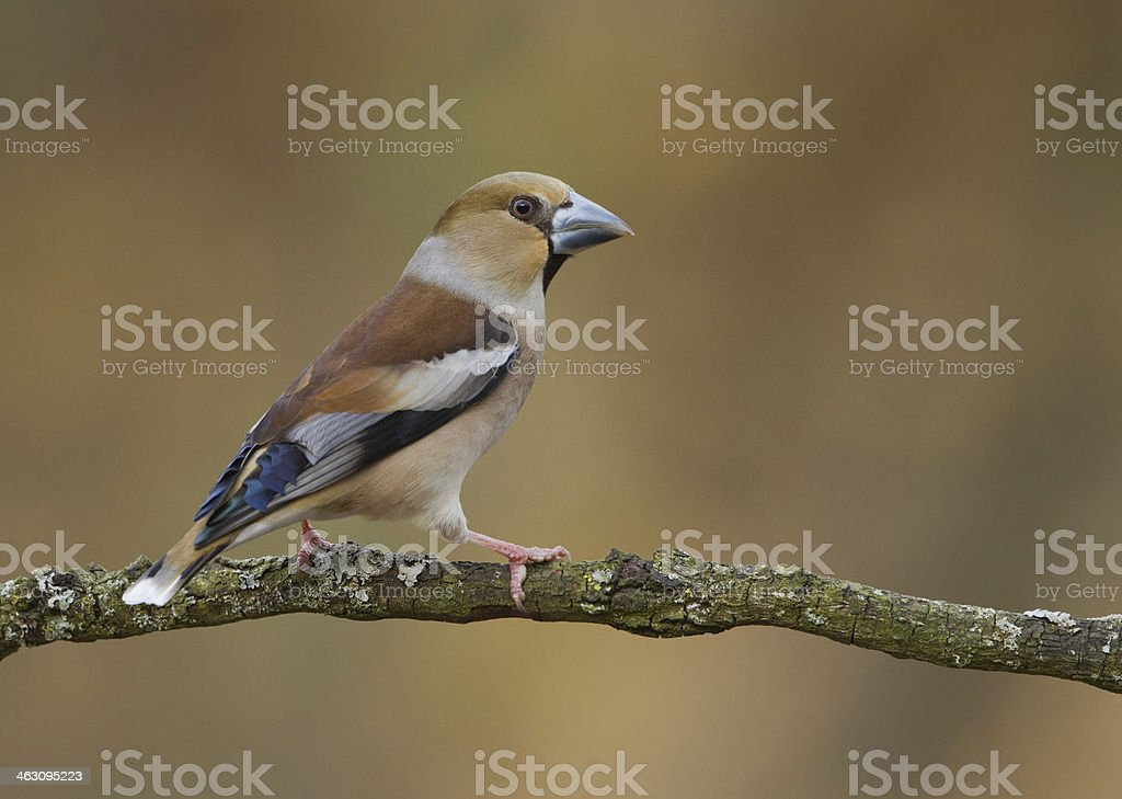 Female Hawfinch royalty-free stock photo