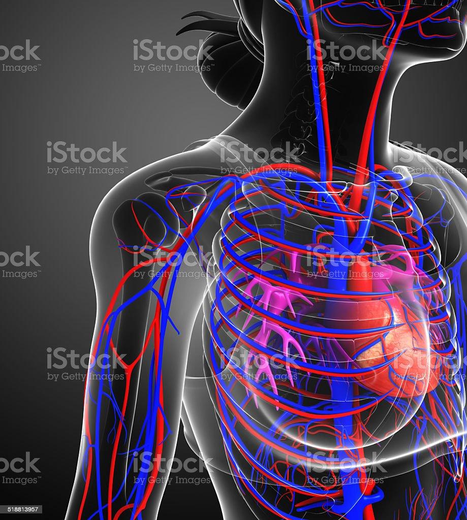 Female heart circulatory stock photo