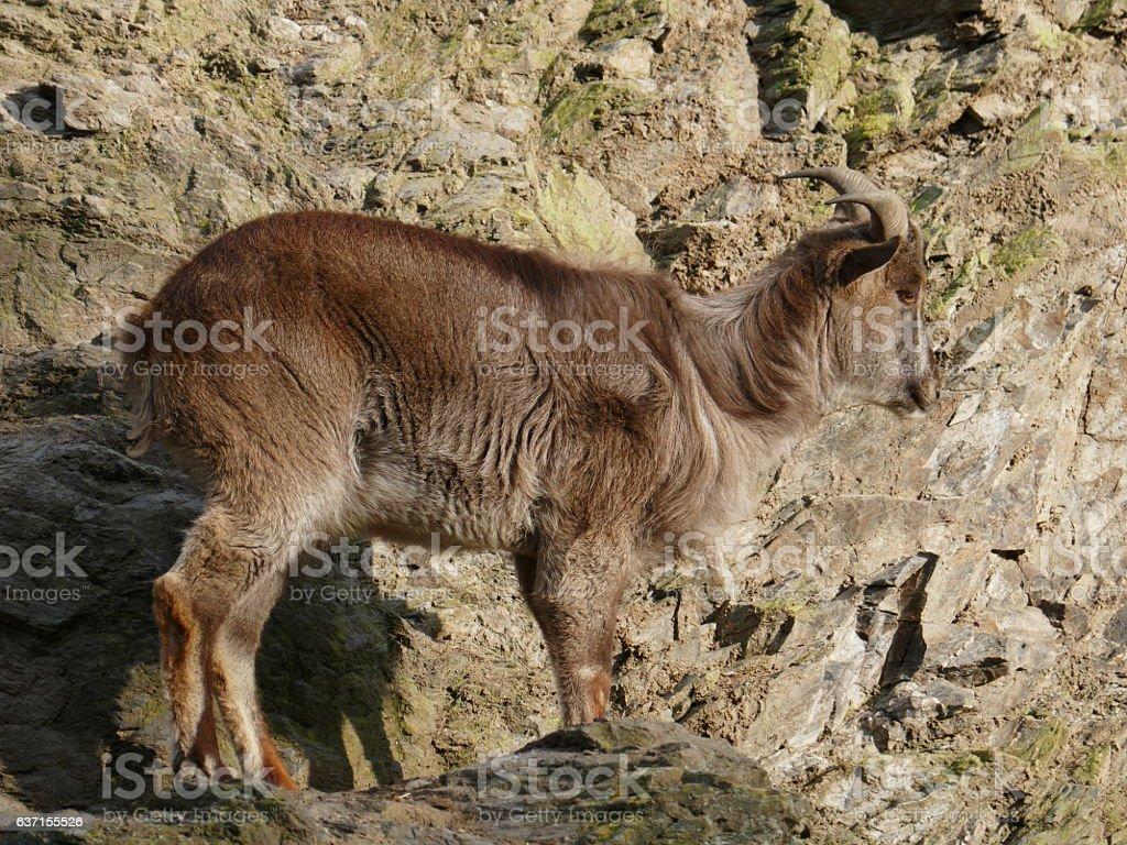 Female Himalayan tahr stock photo