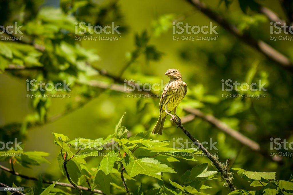 Female house finch bird stock photo