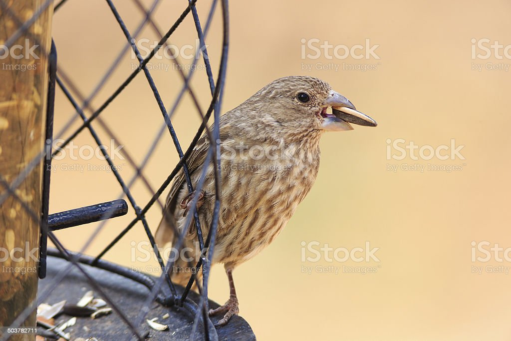 Female House Finch royalty-free stock photo