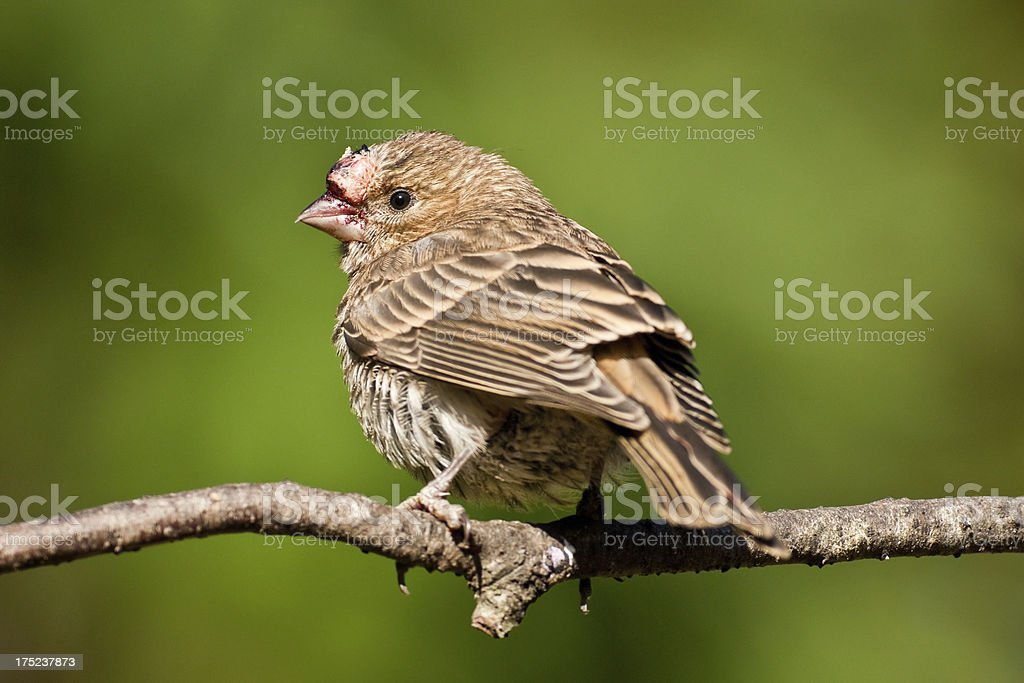 Female House Finch with Unusual Growth Above Beak royalty-free stock photo