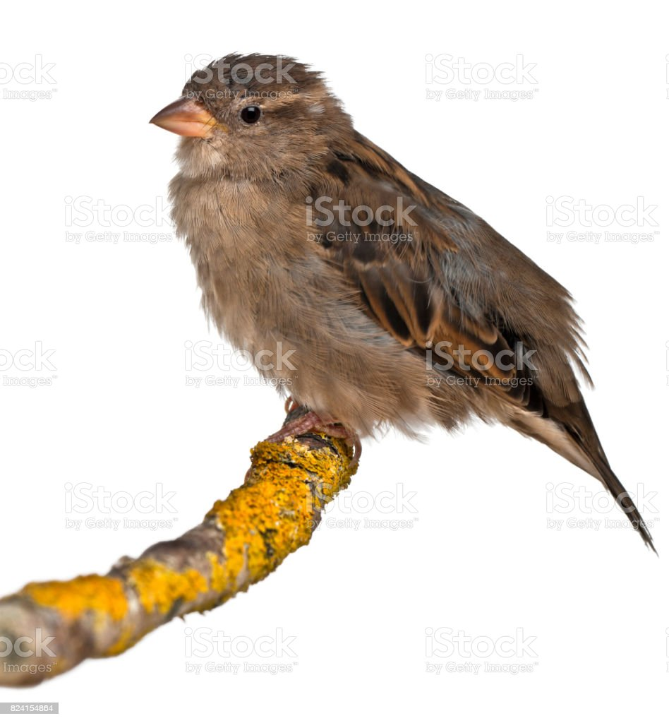 Female House Sparrow, Passer domesticus, 4 months old, in front of white background stock photo