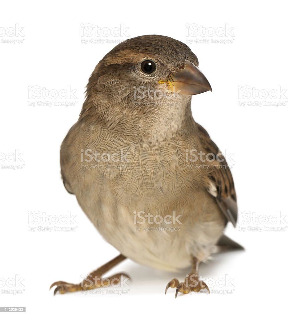 female House Sparrow - Passer domesticus (5 months old) stock photo