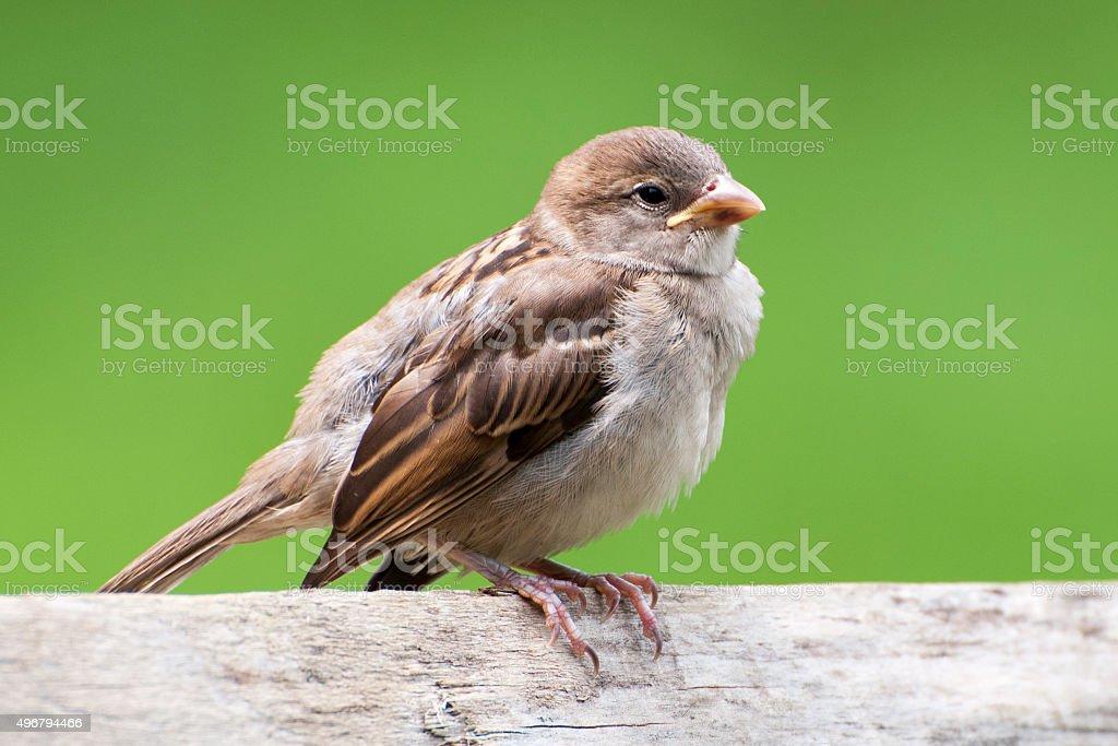 female house sparrow, Passer domesticus stock photo