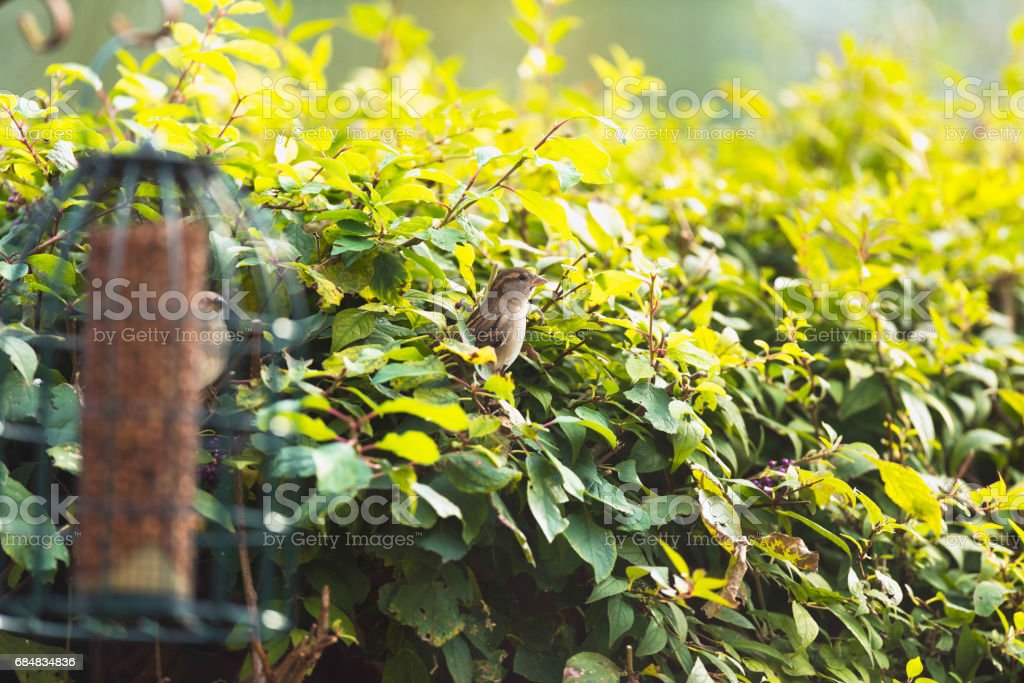 Female house sparrow perched on twig in hedge. stock photo