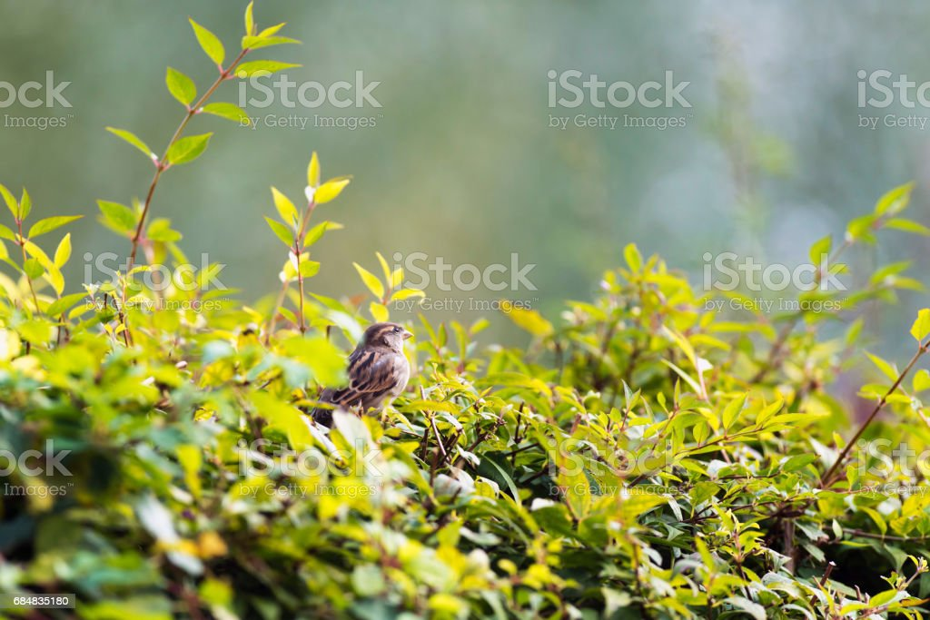 Female house sparrow perched on twig in summer hedge. stock photo