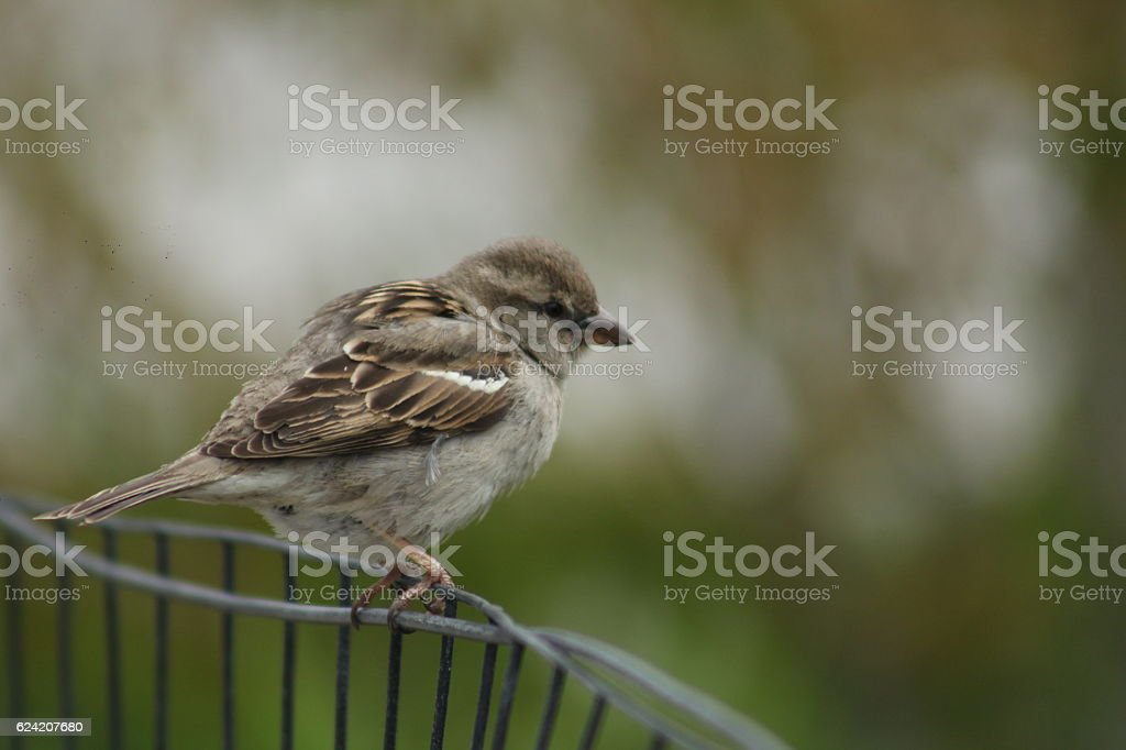 Female house sparrow sitting on a fence at Niagara Falls stock photo