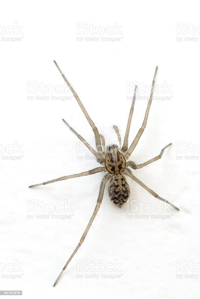 Female House Spider stock photo